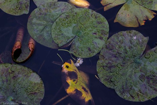 Lilly pads in front of the de Young Museum