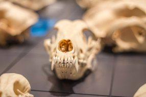 Standard Poodle Skull